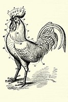 Cock anatomy  Antique illustration  1900