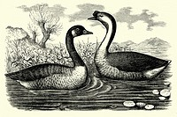 Canadian goose and guinea goose  Antique illustration  1900