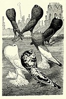 Assorted rare pigeons  Antique illustration  1900