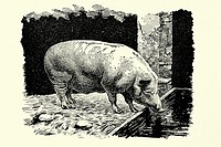 Pig  Yorkshire race  Antique illustration  1900