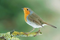 European Robin on twig / Erithacus rubecula