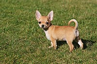 Chihuahua dog _ puppy standing on meadow