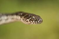 Viperine water snake Natrix maura