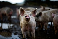 Pigs wallowing in filth