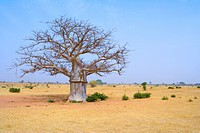 Senegal _ Saint_Louis region _ Baobab
