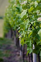 Close up of a vineyard row