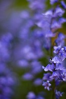 Extreme close up of bluebells - Hyacinthoides non-scripta