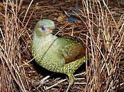 a green satin bowerbird, Ptilonorhynchus violaceus, building its bower  This is a young male which has not yet changed to the glossy black of the adul...