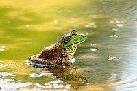 American Bullfrog Rana catesbeiana - Lavaca County, Texas, USA  Mature male in summer