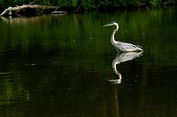 A Great Blue Heron reflects in a lake while stalking a fish.