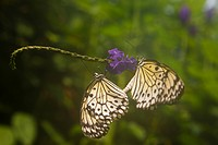 Two butterflies mate on a flower stem.