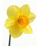 Close up of yellow daffodil with orange trumpet, on white background sp. narcissus