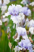 Iris Kaszub flowers