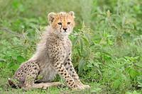 Cheetah (Acinonyx jubatus), Cub, Tanzania