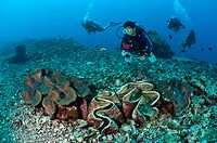 Divers examining giant Tridacna sp. clams in Bunaken Marine Park, Sulawesi, Indonesia. Giant clams have become rare throughout SE Asia as they are col...