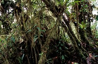 Rainforest. Moss_covered trees in a rainforest in Ecuador.