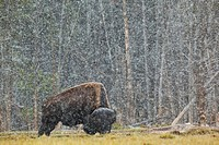 a buffalo in lamar valley in yellowstone national park, wyoming, united states of america