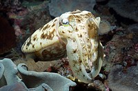 Broadclub cuttlefish Sepia latimanus on a reef. This species is the second large cuttlefish and can grow to 50 centimetres in length and 10 kilograms ...