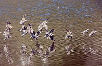 Flock of Long_billed Dowitchers Limnodromus scolopaceus taking off from a lake in California, USA.