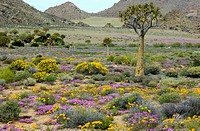Wildflowers in the Namaqualand desert with Tripteris hyoseroides and pink Mesembs Drosanthemum hispidum. Photographed in Goegap reserve, South Africa.