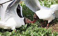 arctic terns sterna paradisaea fighting over a fish stolen from a puffin, northumberland, england
