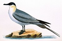 Long_tailed skua Stercorarius longicaudus, 19th century artwork. The smallest of all the skuas, this seabird breeds in Arctic regions of Europe, Asia ...