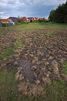 Wild boar Sus scrofa damage in field by rooting up the soil in search for food, Germany