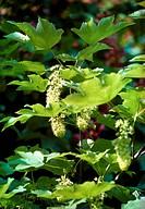 Sycamore Acer pseudoplatanus flowers.