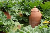 Terracotta rhubarb forcer amongst Rhubarb ´Glaskins Perpetual´.