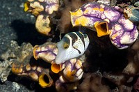 Black_saddled pufferfish Canthigaster valentini emerging from a coral reef, surrounded by sea squirts purple. This pufferfish can reach up to 11 centi...