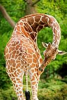 Giraffe bending neck around and scratching rear. (Giraffa camelopardalis)