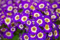 Cineraria, full frame