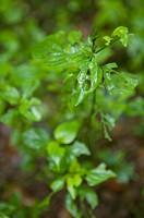 Dicliptera Chinensis, Herb Plant, Guangxi Botanical Garden of Medicinal Plants