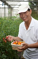 Elderly farmer picking cherry tomatoes in greenhouse, smiling