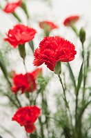 Close up of Red Carnations
