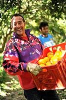 raccolta delle arance, ribera, sicilia, italia