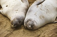 Northern Elephant seals - Mirounga angustirostris - laying on beach, San Simeon, California