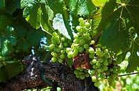 Grapes on a vine in Napa Valley, California, USA