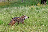Coyote  Canis latrans Order: Carnivora Family: Canidae.