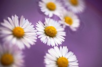 Daisies on lilac