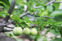 Close_up of fruits growing on tree