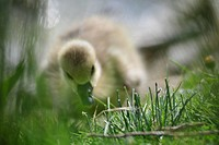 DUCKLING, SOMME 80, PICARDY, FRANCE