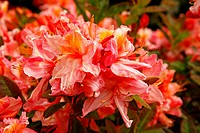 Royal Botanic Gardens Kew in Richmond, London, England  Azalea garden  Rhododendron hybr  ´Pink delight´