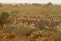 Guanaco Lama guanicoe or Lama glama guanicoe  Order : Artiodactyles Family : Camelidae.