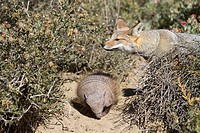 Argentine grey fox and Hairy armadillo  Dusicyon griseus  family : canidae  order :carnivora.