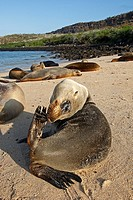 Galapagos Sea Lion  Santa Fe Island  Galapagos islands  Zalophus californianus wollebacki.