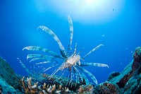 Lionfish Pterois volitans swimming underwater