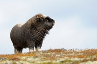 Muskox (Ovibos moschatus), Calf, Dovrefjell National Park, Norwag, Europe