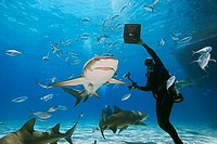 scuba diver with shark baits, lemon sharks, Negaprion brevirostris, with sharksuckers, and blue runner jacks, Grand Bahama, Bahamas, Caribbean Sea, At...