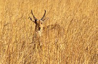 A REEDBUCK Redunca Arundinum blends perfectly with the tall grass it lives in _ OKAVANGO DELTA , BOTSWANA